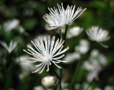 天山 白い花 122