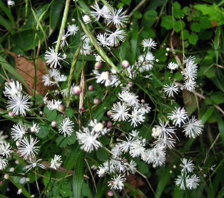 天山 白い花 115