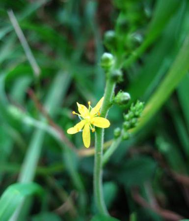 天山 白い花 081