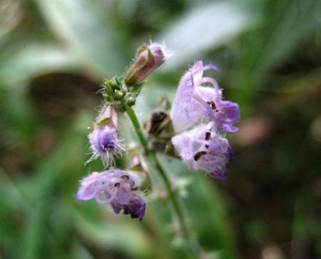 天山 白い花 111