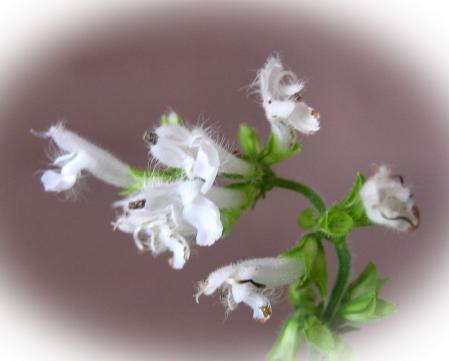 天山 白い花 092