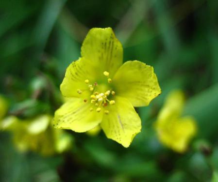 天山 白い花 072