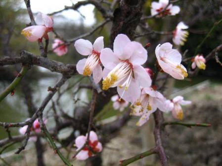 梅の花 011