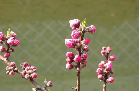 早春の柳川 015