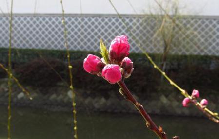 早春の柳川 083
