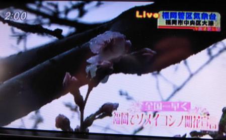 桜開花宣言 023