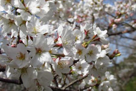 清水の桜 035