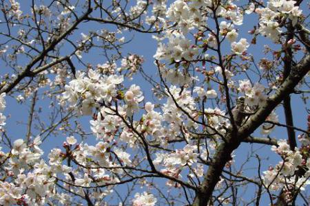 清水の桜 029