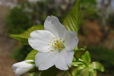 清水の桜 038