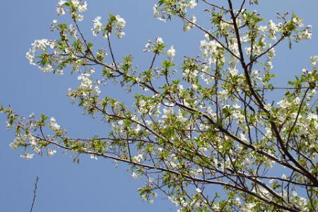 清水の桜 039