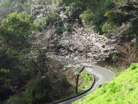 清水の桜 117