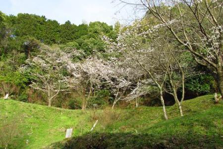 清水の桜 127