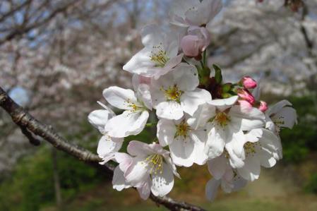清水の桜 044