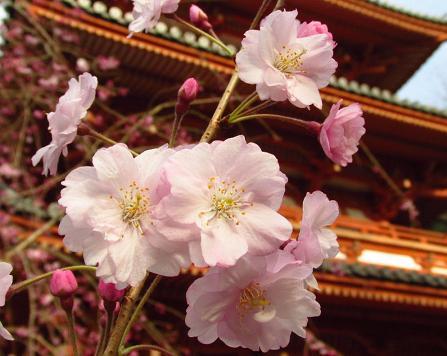 清水の桜 154