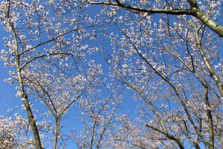 写真展と清水の桜 006
