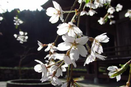 日向神ダム桜 020