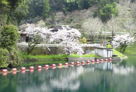 日向神ダム桜 074