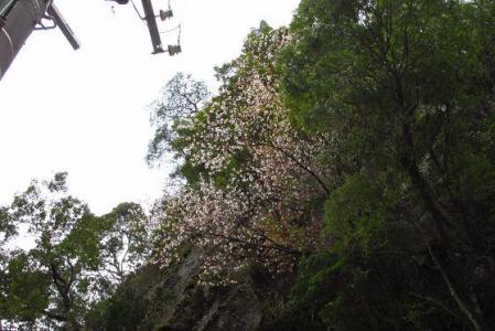 日向神ダム桜 157
