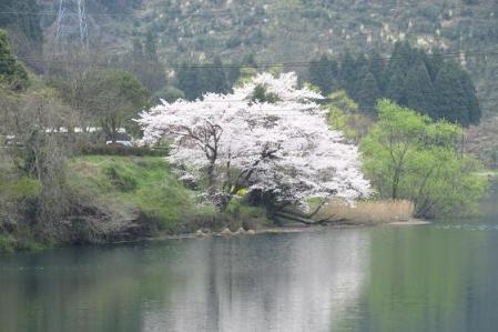 日向神ダム桜 177
