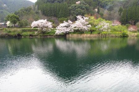 日向神ダム桜 171