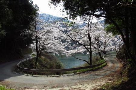 日向神ダム桜 255