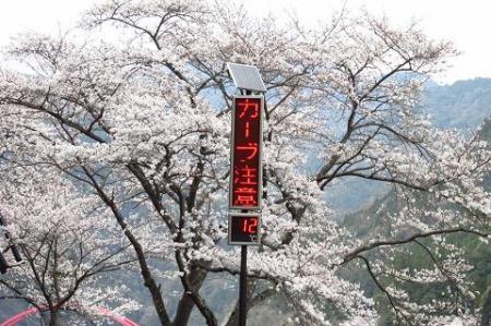 日向神ダム桜 298