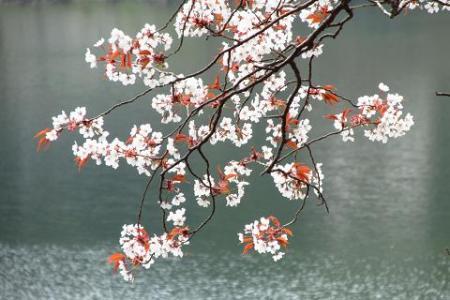 日向神ダム桜 270