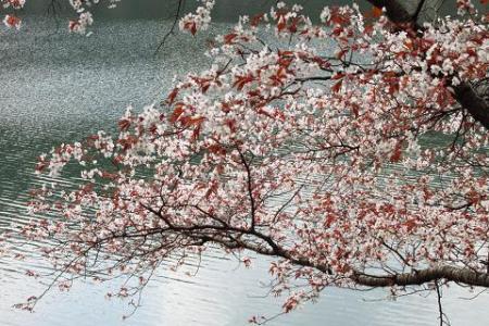 日向神ダム桜 269