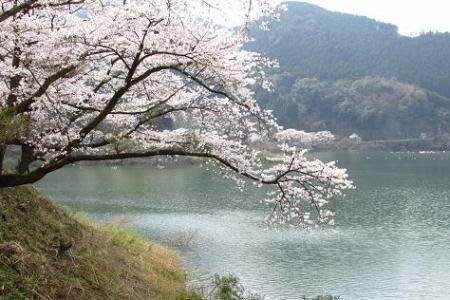 日向神ダム桜 248