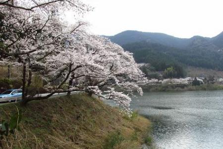日向神ダム桜 246