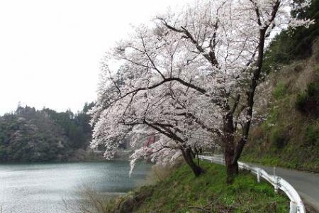 日向神ダム桜 244