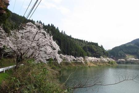 日向神ダム桜 261
