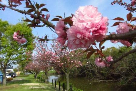 牡丹と桜公園 096