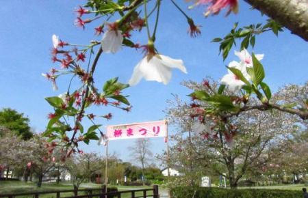 牡丹と桜公園 071