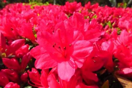 牡丹と桜公園 039