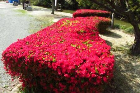 牡丹と桜公園 036