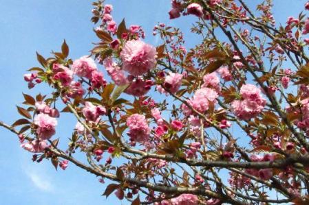 牡丹と桜公園 097