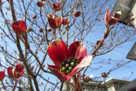 牡丹と桜公園 102