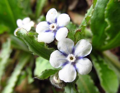 カラ迫岳の花 073