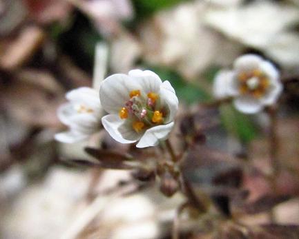 カラ迫岳の花 021
