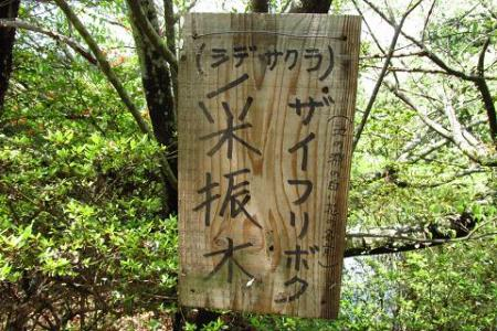 采配桜 156