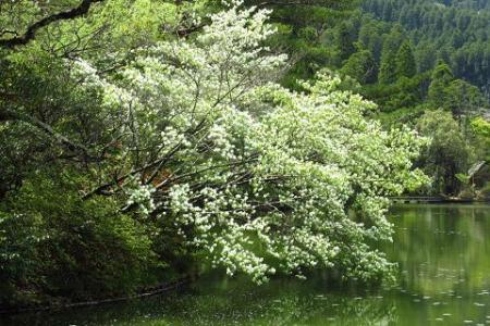 采配桜 152