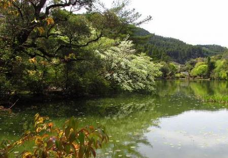 采配桜 151