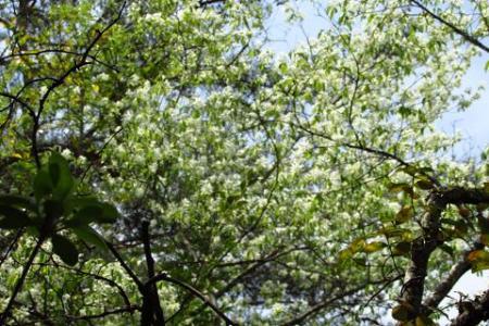采配桜 166