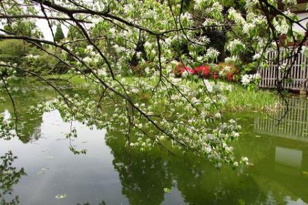 采配桜 162