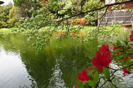 采配桜 194