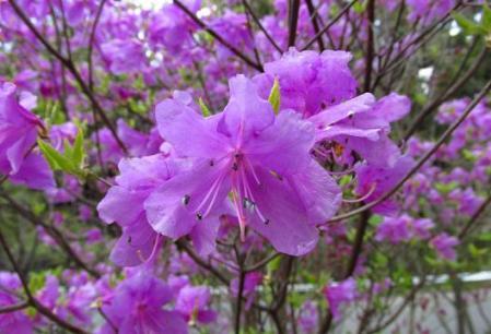 采配桜 270