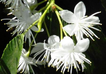 石楠花 170