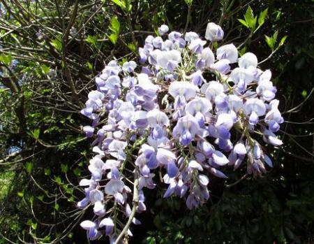 石楠花 134