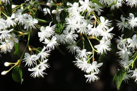 石楠花 164
